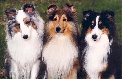 [Image: 3shelties.jpg]